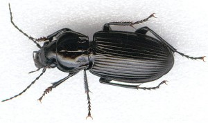 national city beetle